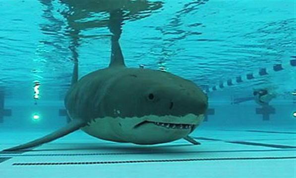 2424694-shark_in_pool2